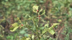 Colorado beetle Stock Footage