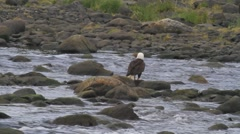 Bald eagle on rock Stock Footage