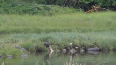 Bald eagles tugging on a fish Stock Footage