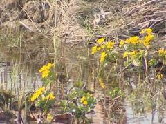 Yellow water flowers is moving in the wind. Water flora. Stock Footage