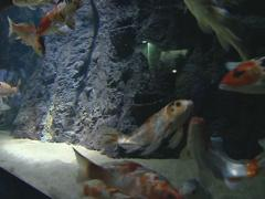 Variety of colorful fishes swiming in hudge zoo aquarium.  Stock Footage