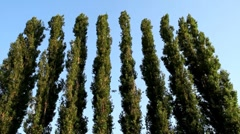 High poplar on background sky Stock Footage