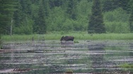 Stock Video Footage of moose and ducks