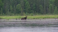Stock Video Footage of moose and loons2