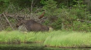 Stock Video Footage of moose cow and calf1