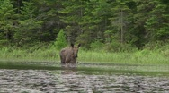 Stock Video Footage of moose cow and calf4