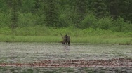 Stock Video Footage of moose in lake2