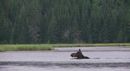 Stock Video Footage of moose swimming2