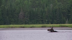 moose swimming3 - stock footage