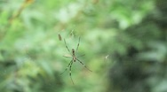 Nature Japan - Spider on Web Stock Footage