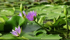 Lotus in gentle wind with flying bee Stock Footage