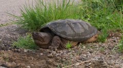 Snapping turtle Stock Footage