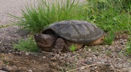 Stock Video Footage of snapping turtle