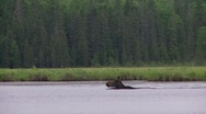 Stock Video Footage of tracking moose 2