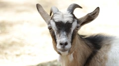 Portrait of a goat Stock Footage