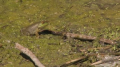 Frog hanging out in the green mud Stock Footage