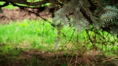 Spruce Stock Footage
