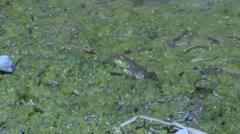 Frog in green swampy water mud Stock Footage