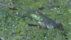 Frog in the swamp breathing hard Stock Footage