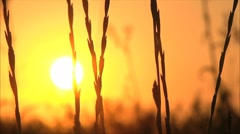 Cane at sunset Stock Footage