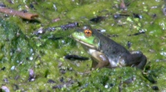 Frog in the swamp water breathing Stock Footage