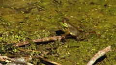 Frog in the swamp getting ready to eat a fly - stock footage