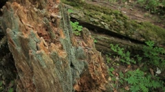 Broken stump with moss. Fallen tree in the background. - stock footage