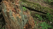 Stock Video Footage of Broken stump with moss. Fallen tree in the background.