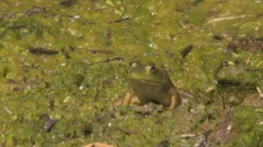 Frog Jumps out of shot Stock Footage