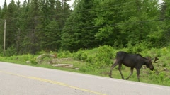 Young bull moose Stock Footage