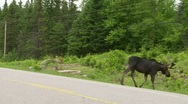 Stock Video Footage of young bull moose