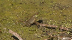 Frog sitting on a stick Stock Footage