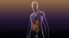 3D Human Body Anatomy: Digestive System (with Alpha) Stock Footage