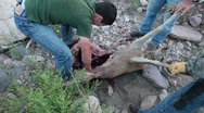 Stock Video Footage of Hunters gutting dead deer P HD 9547