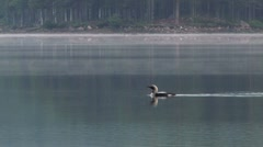 Loon in scenery Stock Footage