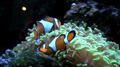 Clownfish 25s Stock Footage