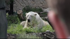 Polar Bear At the Zoo - stock footage