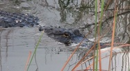 Stock Video Footage of Alligators swims towards the viewer in the Everglades.