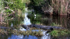 Wide shot of an alligator sleeping in a swamp in the Everglades. - stock footage