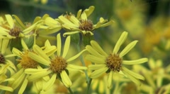 Yellow Ragwort Stock Footage