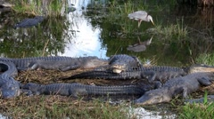 Wide shot of alligators sleeping in a swamp in the Everglades. - stock footage