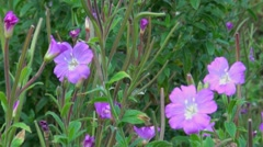 Great Willowherb - stock footage