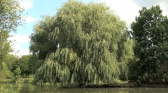 Willow Tree Stock Footage