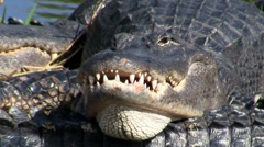An alligator looks angry and aggressive in the Everglades. Stock Footage