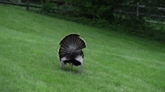 Male turkey and his harem Stock Footage