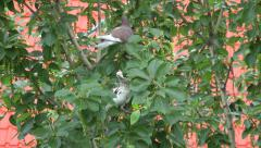 There are pigeons eat a poisonous poplar Stock Footage
