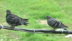 Pigeon everyday life Stock Footage