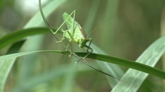 A cricket (insect) defecate - stock footage
