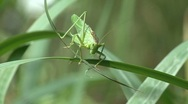 Stock Video Footage of A cricket (insect) defecate