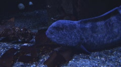 Moray Eel Stock Footage